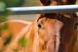 canvas print picture - Braunes Pferd