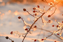 A Branch With Rose Hips In The Sparkling Ice In The Sunset Sunlight. Selective Soft Focus