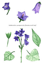 Flower Set Of Campanula Flowers.Purple Flowers Isolated On White Background.For Wrappers,wallpapers,postcards,greating Cards,wedding Invintation.