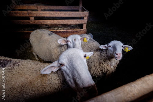 Canvas Print ovejas en un establo, Sin, Sobrarbe, Huesca, Aragón, cordillera de los Pirineos,