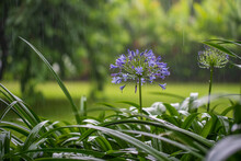 Agapanthus Praecox, Blue Lily Flower During Tropical Rain, Close Up. Tanzania, Africa