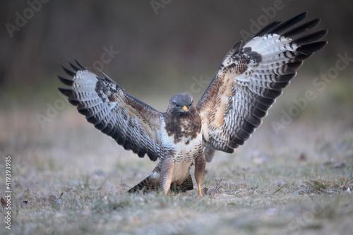 Photo Buse variable Buteo buteo écartant les ailes