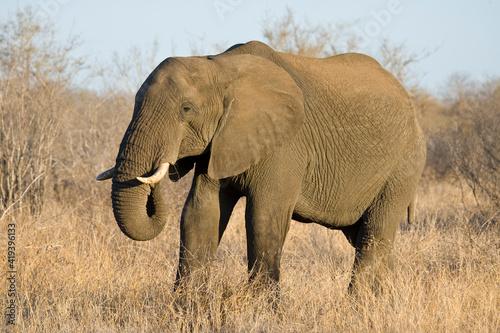 Wallpaper Mural Afrikaanse Olifant, African Elephant, Loxodonta africana