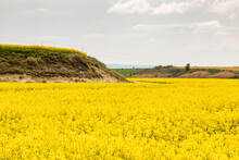 Yellow Rapeseed Flowers In A Large Cultivated Field Near Ejea De Los Caballeros, In Aragon, Spain. Example Of The Agri-food Industry And Primary Sector For The Extraction Of Rapeseed Oil.