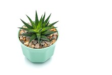 Succulent Plant On White Background