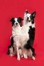 Two Border Collie Dogs Holding Each Other While Sitting On A Red Background