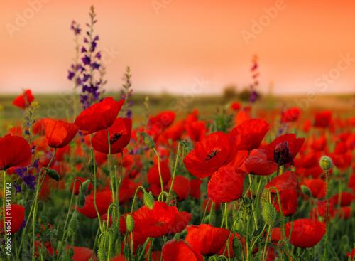 Fototapeta poppy field in summer obraz na płótnie