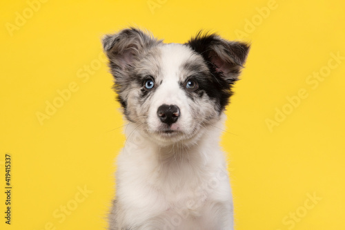Vászonkép Portrait of a young border collie puppy on a yellow background