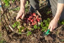 Jardinier Avec Un Panier Récoltant à La Main Des Panais Et Ocas Du Pérou Dans Son Potager