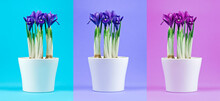 Collection Of Potted Iris Flowers On A Colorful Backgrounds.