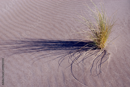 Fotografia, Obraz Plant sticking out of a sand dune in spite of the lack of water