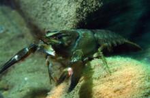 Crawfish In June Lake Mammoth California Close Up In Burrow Macro Shot