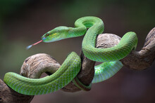 White-lipped Island Pit Viper Coiled Around A Tree Branch, Indonesia