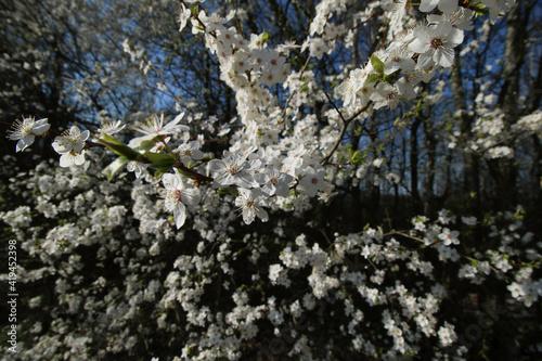 Fototapeta mirabelka, kwiaty, krzew, białe kwiaty, kwiaty mirabelki, wiosna, kwitnąca mirabelka, wieś, kwitnące krzewy, pączki kwiatów, obraz