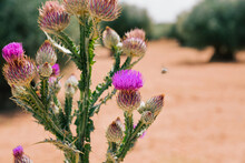 Thistle In The Foreground In A Blur Field Of Olive Trees. Landscape Photo