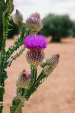 Thistle In The Foreground In A Field Of Olive Trees. Vertical Photo