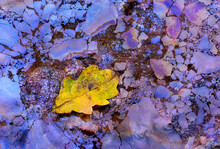 Close-up Abstraction Of The Biofilm Of The Swamp Where Several Leaves Of Nearby Trees Have Fallen. Chromatic Contrast Between The Blue Of The Biofilm And The Yellow Of The Leaf.