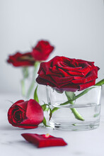 Fresh Blooming Bright Red Buds Of Rose Flowers In Glasses With Water Arranged On Marble Table With Petals Against White Background
