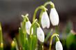 przebiśnieg, kwiat, biała, przebiśnieg, zieleń, roślin, makro, kwiat, pora roku, kwiat, flora, zima, beuty, kwiatowy