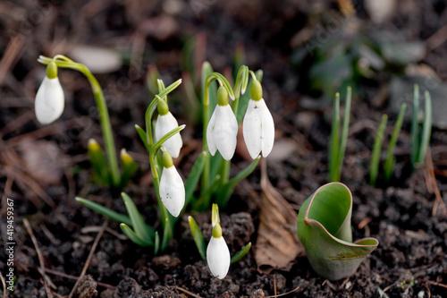 Fototapeta przebiśnieg, kwiat, biała, przebiśnieg, zieleń, roślin, makro, kwiat, pora roku, kwiat, flora, zima, beuty, kwiatowy obraz