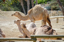 Camels Resting Lying On The Ground