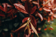 Shiny Golden Wedding Rings Hanging On Stem Of Plant With Red Leaves In Garden