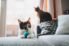 Cute Purebred Calico And Siamese Cats Playing With Soft Ball On Comfortable Sofa In Cozy Apartment In Daylight