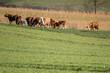 canvas print picture - Kühe und Rinder weiden hinter dem Stall