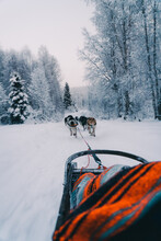 Back View Of Sled Dogs Pulling Sleigh On Snowy Road Amidst Leafless Trees Growing In Winter Forest Against Cloudy Sky