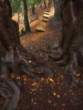 Thick Trees With Large Overgrown Roots Growing In Woodland Near Wooden Footpath In Early Autumn Day