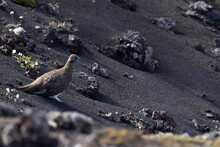 Fill Body Wild Curious Quail Sitting On Black Sandy Terrain With Scattered Stones In Nature In Daylight