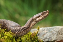 The Asp Viper (Vipera Aspis) Lying On Ground