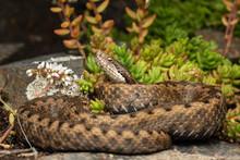 The Asp Viper (Vipera Aspis) Snake Lying On Ground