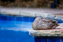 Female Mallard Resting By A Residential Swimming Pool