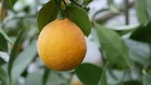 Close Up View Of Ripe Lemon On A Branch Lemon Tree. Harvest Ripe Juicy Lemons On