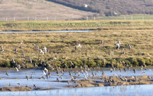 Flock Of Ducks And Godwits