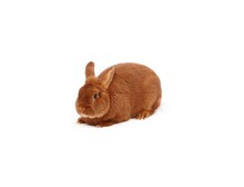 New Zealand Purebred Red Rabbit On White Cloth Against White Background