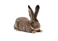 Purebred Rabbit Belgian Giant On White Cloth Against White Background