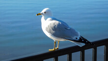Seagull Standing On A Fence