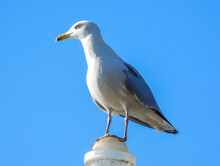Seagull Standing On A Column