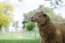 Adult Large Sheep On The Farm. Agricultural Scene With Limited Depth Of Field