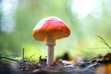 Red Fly Agaric Poisonous Mushroom Growing In Autumn Forest.
