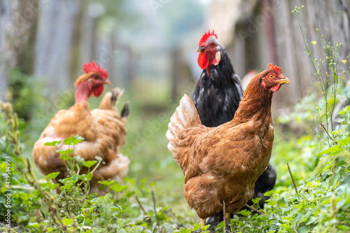 Photo Closeup of domestic chicken feeding on traditional rural barnyard