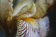Close Up Of Yellow Cream Iris With Orange Beard And Purple Stripes