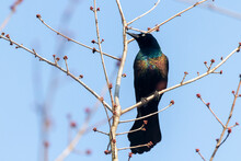 Close Up Isolated Image Of An Adult Male Common Grackle (Quiscalus Quiscula) Perching On A Tree Branch Against Blue Sky. This Bird Has Black Feather With Vibrant Glossy Colors. Spotted In Maryland.