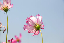 Back Of Pink Cosmos Flowers With Wind On Blue Sky Background