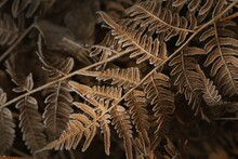 Close-up Of Brown Fern Leaves, Crystal Clear Hoarfrost. Texture, Background, Wallpaper, Graphic Resources. Dark Golden, Bronze Shades. First Snow, Climate Change, Winter, Nature. Concept Art
