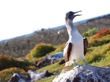 Blue-footed Booby, Galapagos, Ecuador