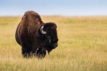 The Bison Or American Buffalo Grazing The Grasslands Of Badlands National Park In South Dakota.