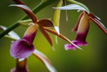 Orquídea Silvestre En Las Montañas De Costa Rica